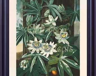 Botanical Print Blue Passion Flower Large Vintage 11x14 Art Print THORNTON Temple of Flora Home Decor Antique Plate Interior Design  LP0067