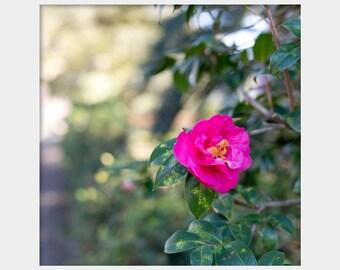 Hot Pink Camellia Photo, Bright Floral Photo, Magenta Flower Photo, Spring Flower Photo, Bold Floral Art, Pink Green Art, Camellia Art