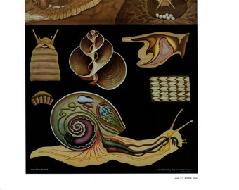 """Vintage Educational Chart Poster Print, Item 5362 Zoology Picture Art, Edible Snail & Cuttlefish 13"""" x 11"""" 2 sided"""