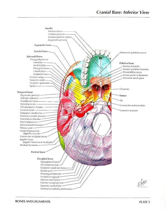 Anatomy Print Skull Cranial Base Inferior View Superior