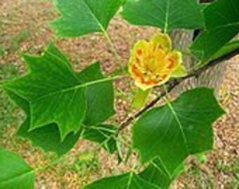 "1 TULIP POPLAR (Liriodendron tulipifera) 12-18"""