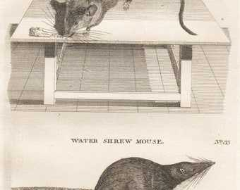 Antique ANIMAL PRINT 1776 PENNANT Griffiths Fine Copper Engraving Mouse, Water Shrew Mouse