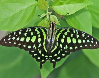 Butterfly Photography Nature Green Swallowtail Insect Decor Wildlife Decor Tailed Jay Boys Room Decor Photo Home Wall Art Mint Green Black