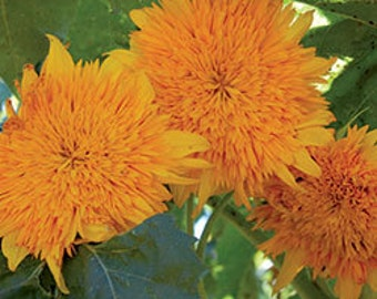 Sunflower Seeds, Orange Sun, Large 6 Inch Blooms, Grows up to 8 Feet Tall, 20 Seeds