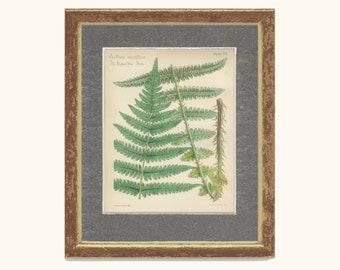 Mountain Fern, Heath Fern, Reproduction Antique Botanical Fern Print 7, British Natural History, Woodland Decor, Rustic Cabin Decor