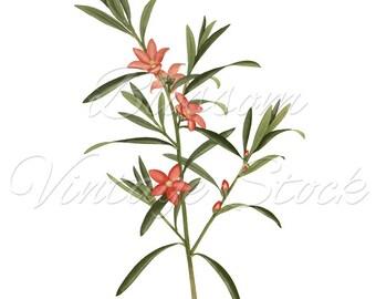 Vintage Botanical Prints, Pink Flowers PNG Digital Image, Antique Illustration for Print, Artwork, Collage - INSTANT DOWNLOAD - 1308