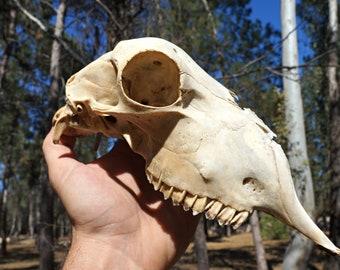 Real Sheep Skull   Natural Sheep Skull   Gothic Pagan   Animal Taxidermy    Macabre Home