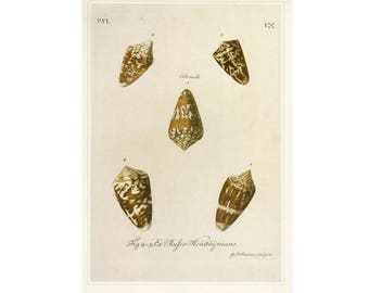 Sea Shells Print or Book Plate SALE Buy 3, get 1 FREE