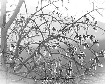 Tree Photography Budding Aspen Tree Black and White Art Print Nature Photography Home Design Wall Hanging Family Room Decor Dining Room