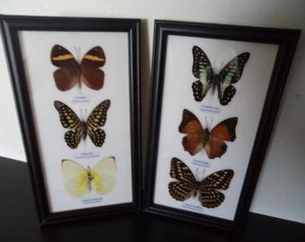 Real Butterflies Framed Display Lepidoptera Zoology Taxidermy Butterfly Collectable Insects Moths Free Shipping