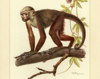 Vintage lithograph of the white-headed capuchin from 1956