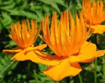 Trollius Golden Queen-Globe Flower * Perennial!! 15 Seeds  ... seeds galore