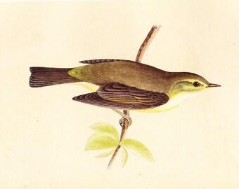 Antique Willow Warbler Print . original old vintage bird plate woodblock . vol III, dated 1853 art specimen illustration - *Reduced*