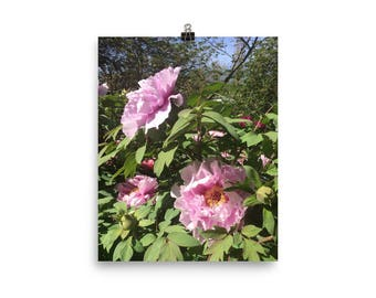 Pink Tree Peonies Photograph Print Poster Wall Art