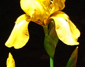 Yellow Iris on Black