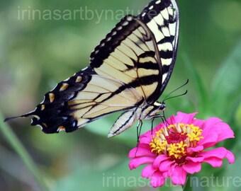 Nature Fine Art Photography Swallowtail Butterfly Floral print Pink Zinnia Botanical Art 8 x 10