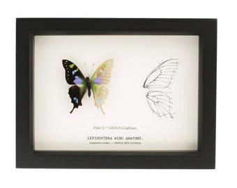 Real Framed Butterfly Curiosity Skeleton Anatomy