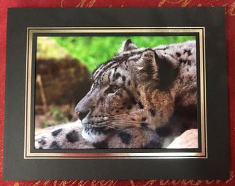 Snow Leopard close up