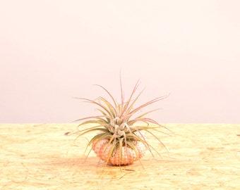 Pink Sea Urchin + Ionantha air plant
