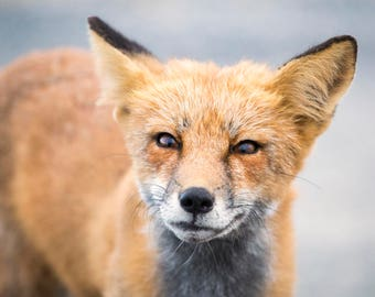 Fox Photo II - The Curious Fox - 11x14 Color Wild Fox Photography Print - Fox Art