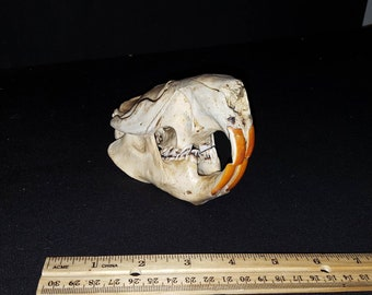 Real Beaver Skull animal decor bone weird taxidermy stuff macabre oddity wicca