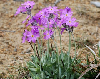 20 Primula farinosa Seeds, birds eye primrose Seeds,