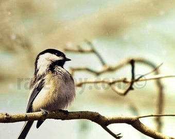 Nature Photography, Bird Print, Chickadee,  Blue, Brown, Rustic, Bird Wall Art