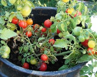 Winzige Tim Tomaten Erbstück Garten Samen nicht-GVO 30 + Samen True Zwerg Tomate Container Garten wachsen innen offen bestäubt Gartenarbeit