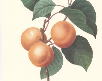 vintage botanical print by Pierre Redoute, Apricots, Peaches, shabby chic home decor.