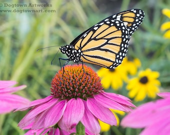 Flower Power, original large photograph of a monarch butterfly as it nectars on a purple coneflower