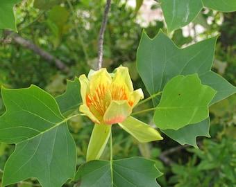 10 Liriodendron tulipifera Seeds. American tulip tree, tuliptree, tulip poplar, whitewood, fiddle-tree, and yellow poplar—