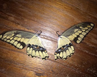 Real Costa Rican butterfly wings -- ethically sourced!