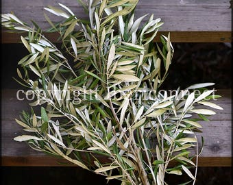 Spanish Olive Branches 24 sprigs of approx 22cm in length. Perfect for weddings, wreaths, decoration. Organic and natural.