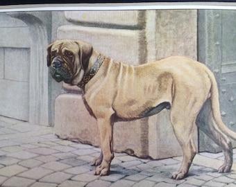 MASTIFF dog Louis Agassiz Fuertes Vintage Mounted 1919 plate print Congratulations Christmas Birthday gift