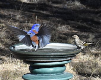 There's One in Every Crowd   Blue Birds   Mountain Blue Birds   At The Water Hole   SW New Mexico Birds Western