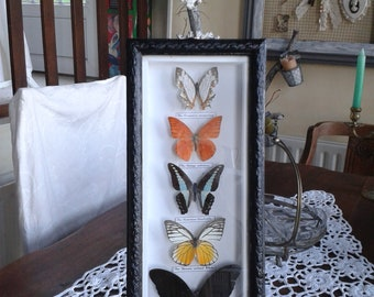 5 real butterflies mounted taxidermy framed black glass