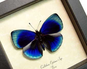 Glowing Blue Optima Real Butterfly Conservation Display 819d