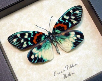 Real Framed Erasmia Pulchera Day Flying Moth 8214