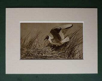 Original 1920s Print Of A Black Headed Gull - Nest - Eggs - Beach Bird - Matted - Ornithology - Black & White - Photograph - Antique - Sepi