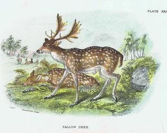 Beautiful antique print of a Deer. Fallow Deer Cervus dama 1896