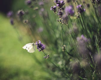 Lavender Butterfly Photograph Print // Small White Butterfly Photography // Insect on Flower Photo //  Jenna Woodward Photography