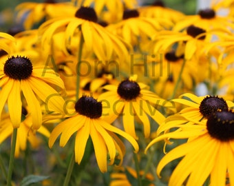 Yellow Flower Photograph Digital Download / Black Eyed Susan Flower / Nature Home Decor Canvas Wall Art Print