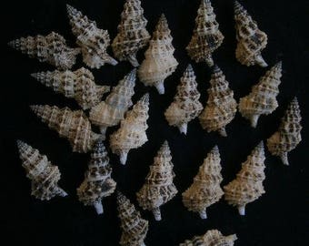 Cerithium Columna Seashell  (1 Shell)