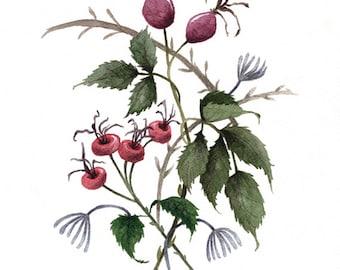 Fine Art Print of Original Watercolor Painting - Rosehips