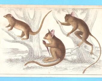 Antique animal (marsupials, bush baby? Tree Kangaroo?) illustration