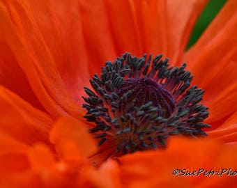 Poppy, Photograph, card or magnet,Romantic Decor, Cottage Chic, Shabby Chic, Orange, Bedroom Decor, Large Wall Art, Flower Photography