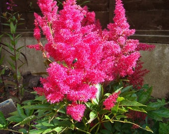 100 PINK MIX ASTILBE (False Spirea / False Goats Beard) Astilbe Chinensis Flower Seeds