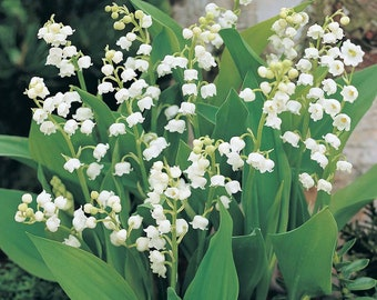 5 Lily of the Valley Bareroot