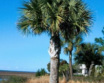 Sabal palmetto   Hardy Sabal Palm   100 Seeds   (Free Shipping)
