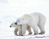 Polar Bear Baby and Mom P...
